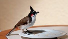 Röd-med polisonger bulbul, Pycnonotus jocosus Royaltyfri Foto