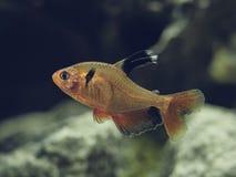Röd mindre Tetra simning för lång fena contently i fiskbehållaren fotografering för bildbyråer