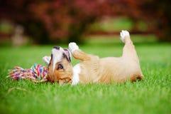 Röd miniatyrbull terrier valp royaltyfria bilder