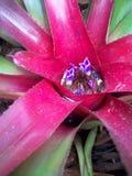 Röd mitt av en bromelia Royaltyfria Bilder