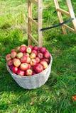 Röd mogen fruktkorg för äpplen på gräs nära stege Apple skördbegrepp Mogna organiska frukter i trädgård Höst royaltyfri foto