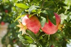 Röd mogen granatäpple på trädet Åldrades Tid av skörden Blå himmel till och med granatäpplebuskefilialerna arkivbild