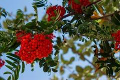 Röd mogen grupp av rönnen med gröna rönnsidor i höst mot blå himmel höstlig färgrik röd rönnfilial arkivfoto