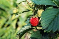 röd mogen jordgubbe Arkivbild