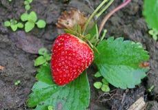 Röd mogen jordgubbe på en säng i trädgården Arkivfoton