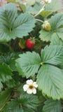 Röd mogen jordgubbe som växer i en buske Fotografering för Bildbyråer