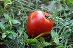 Röd mogen tomatlögn på grönt gräs Royaltyfria Bilder