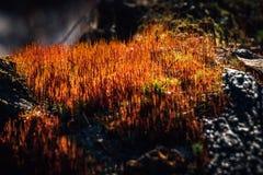 Röd mossa på kol Arkivfoton