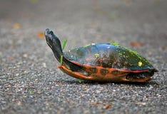 Röd-motsagd sköldpadda Royaltyfri Fotografi