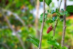 Röd mullbärsträd på filial Royaltyfri Foto