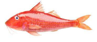 Röd multefiskar arkivfoton