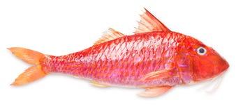 Röd multefiskar royaltyfria foton