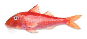 Röd multefiskar arkivbilder