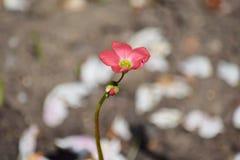 Röd mycket liten blomma som blommar det hem- arbeta i trädgården fotoet för plantera materiel royaltyfri fotografi