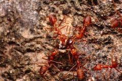 Röd myra Arkivbilder