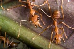 Röd myra Arkivfoton