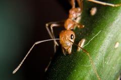 Röd myra Fotografering för Bildbyråer