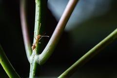 Röd myra Arkivbild