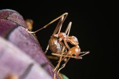 Röd myra Royaltyfri Bild