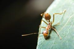 Röd myra Arkivfoto