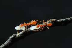 Röd myra och ägget i Thailand Arkivfoton