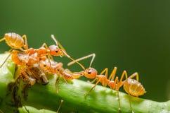 Röd myra och bladlus på bladet Arkivbilder
