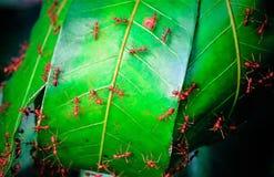 Röd myra och gröna feaves arkivfoto