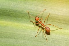 Röd myra på bladet Royaltyfri Foto
