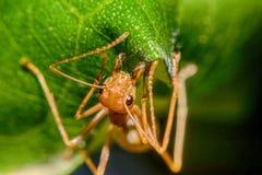 Röd myra på bladmakrosikt Royaltyfri Fotografi