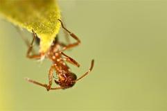 Röd myra på ett stycke av gräs Arkivbilder