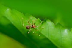 Röd myra på gröna tjänstledigheter royaltyfria bilder