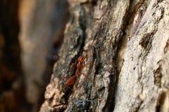 Röd myra, myra på selektiv fokus för trädtextur royaltyfri fotografi