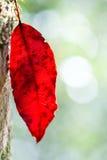 Röd nedgångleaf Royaltyfria Foton