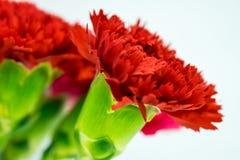 Röd nejlika Royaltyfri Fotografi
