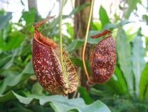Röd Nepenthes Arkivfoton