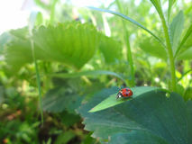 Röd nyckelpiga på bladet i skinande solljus Nyckelpiga i garderbackgr Arkivfoto