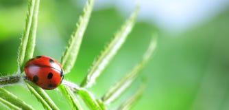 Röd nyckelpiga på det gröna bladet, nyckelpigaäckelar på stammen av växten i vår i trädgårdsommar arkivfoto