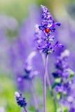 Röd nyckelpiga på härlig lila- och violetlavendel Arkivbild
