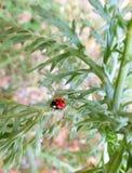 Röd nyckelpiga som går på det gröna bladet Arkivfoto