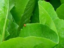 Röd nyckelpiga som går på kanten av det vibrerande gröna grönsakbladet i den organiska lantgården Royaltyfri Foto