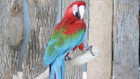 Röd och blå papegoja på fågelkungarikeaviariet, Niagara Falls, Kanada Royaltyfri Fotografi