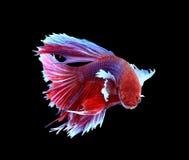 Röd och blå siamese stridighetfisk, bettafisk som isoleras på svart arkivbilder