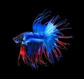 Röd och blå siamese stridighetfiskhalfmoon, bettafiskisolat arkivfoton