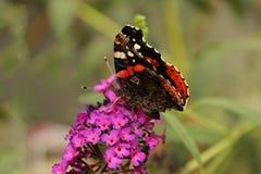 Röd och brun fjäril över härliga purpurfärgade blommor royaltyfri foto