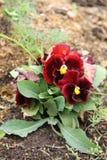 Röd och burgundy blommapensé som växer i en trädgård Arkivbilder
