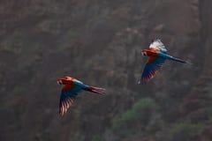 Röd-och-gräsplan ara, munkhättachloroptera, i mörkret - grön skoglivsmiljö Härlig arapapegoja från amasonen, Peru Fågel i flyg fotografering för bildbyråer