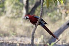 Röd-och-gräsplan ara, munkhättachloropterus Royaltyfria Foton