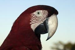 Röd-och-gräsplan ara, munkhättachloropterus Royaltyfri Foto