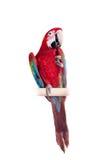 Röd-och-gräsplan ara på vit bakgrund Fotografering för Bildbyråer