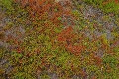Röd och grön anophyte- och risbakgrund Royaltyfri Foto